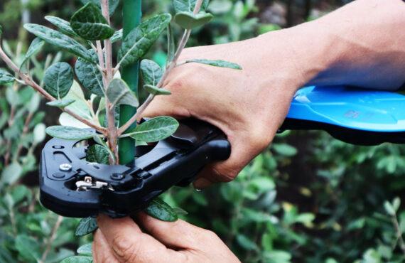 Wiązanie roślin z użyciem zszywacza ogrodniczego – tapenera